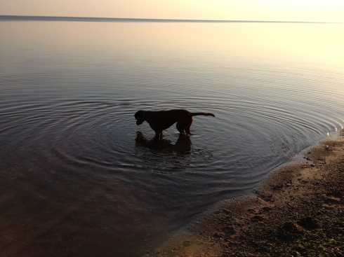 Brown dog looks into Lake Ontario.