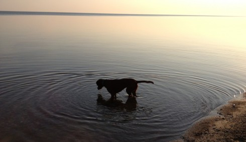 Reflections of a brown dog.