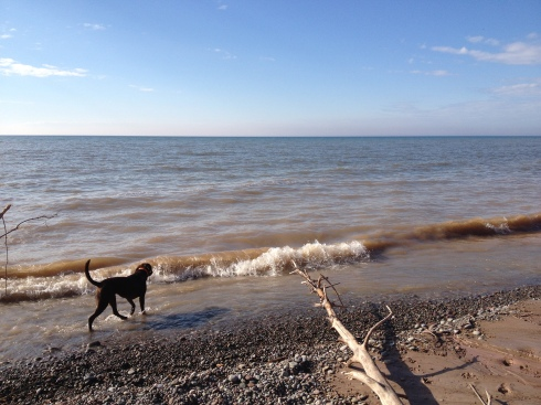 Dog walking through shallow waters along shore of Lake Ontario.