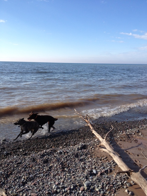 Two dogs run in a happy play-date at water's edge. This was not taken at Chimney Bluffs where dogs are not allowed on the beach.