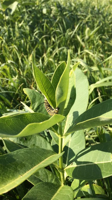 Monarch caterpillar crawls around milkweed plant.